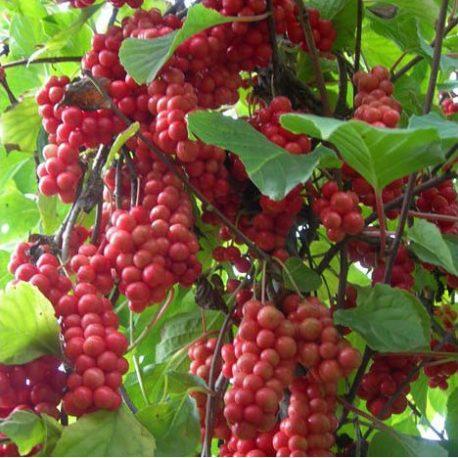Fruit du schizandre